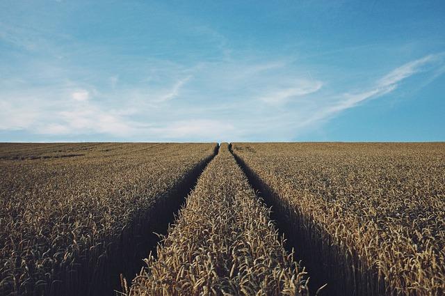 wheat-691935_640