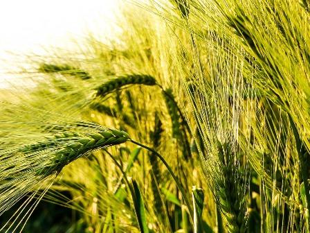 wheat-2349582_960_720